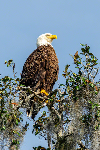 A photo of an American Bald Eagle