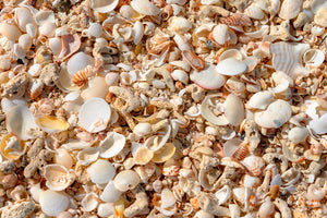 A closeup photo of beautiful sea shells at Valley Church Beach in Antigua