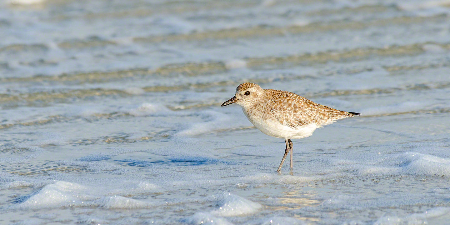 A photo of a black-bellied plover on the beach