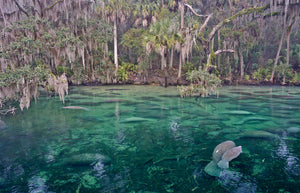 A photo of a mother and a baby manatee at Blue Springs State Park