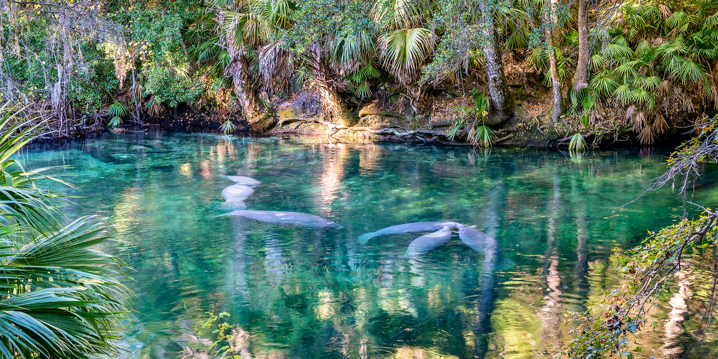 A photo of a group of playful manatees at blue springs state park