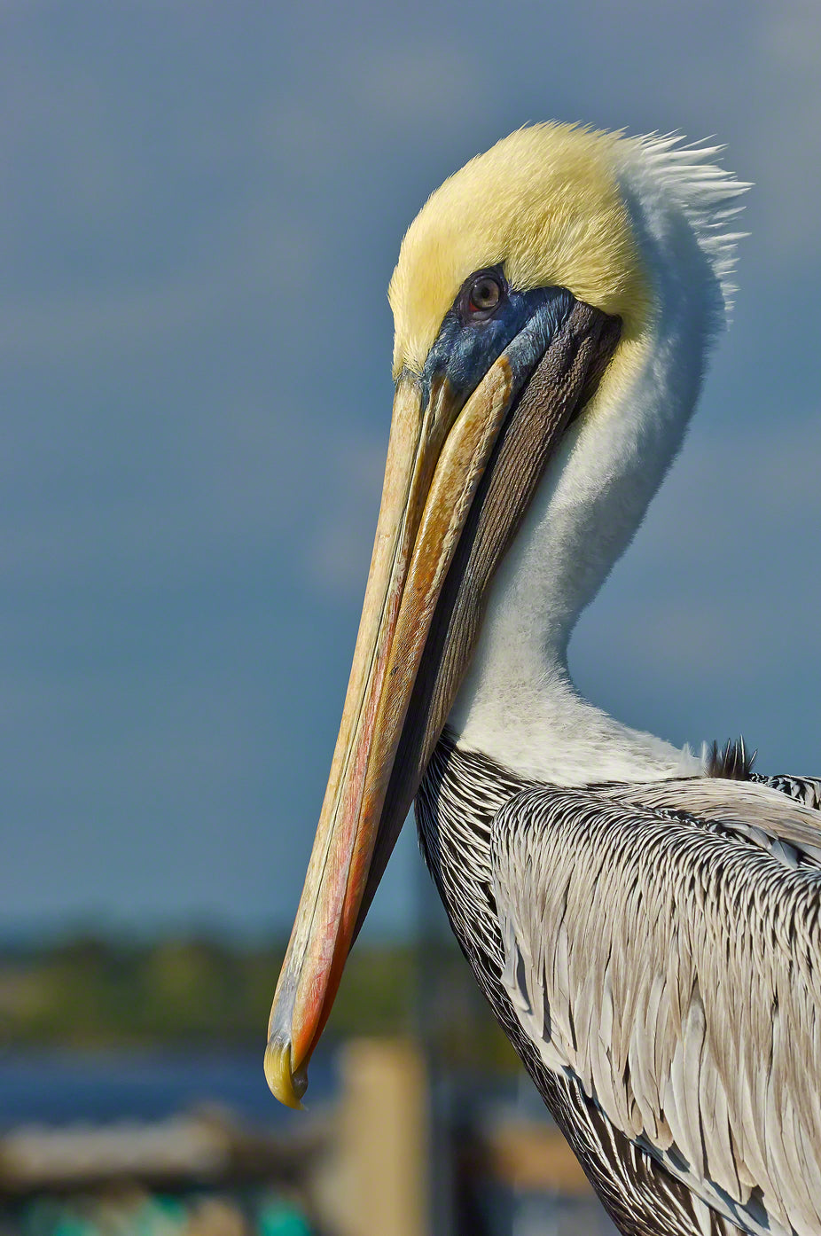 A photograph by Mike Ring of a Brown Pelican