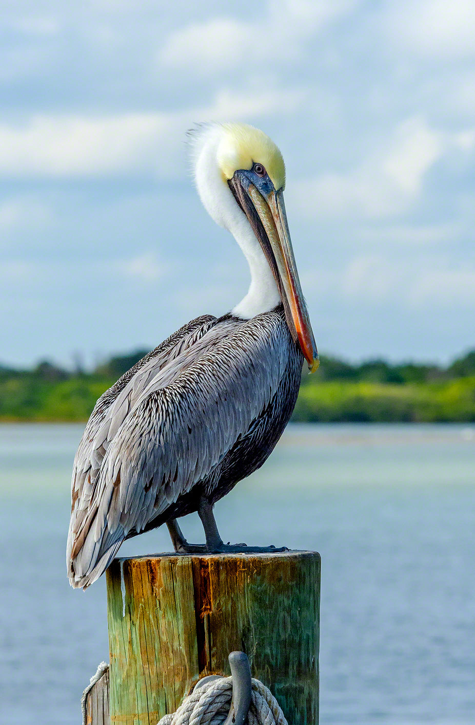 A photo of a brown pelican standing on a dock piling