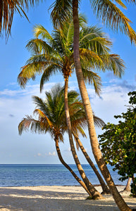 A photo of beautiful coconut palm trees on smathers beach in Key West, Florida