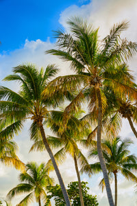 a photo of a large group of coconut palm trees at sunset in Florida Keys