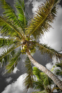 A photo of a coconut palm tree in the Florida Keys
