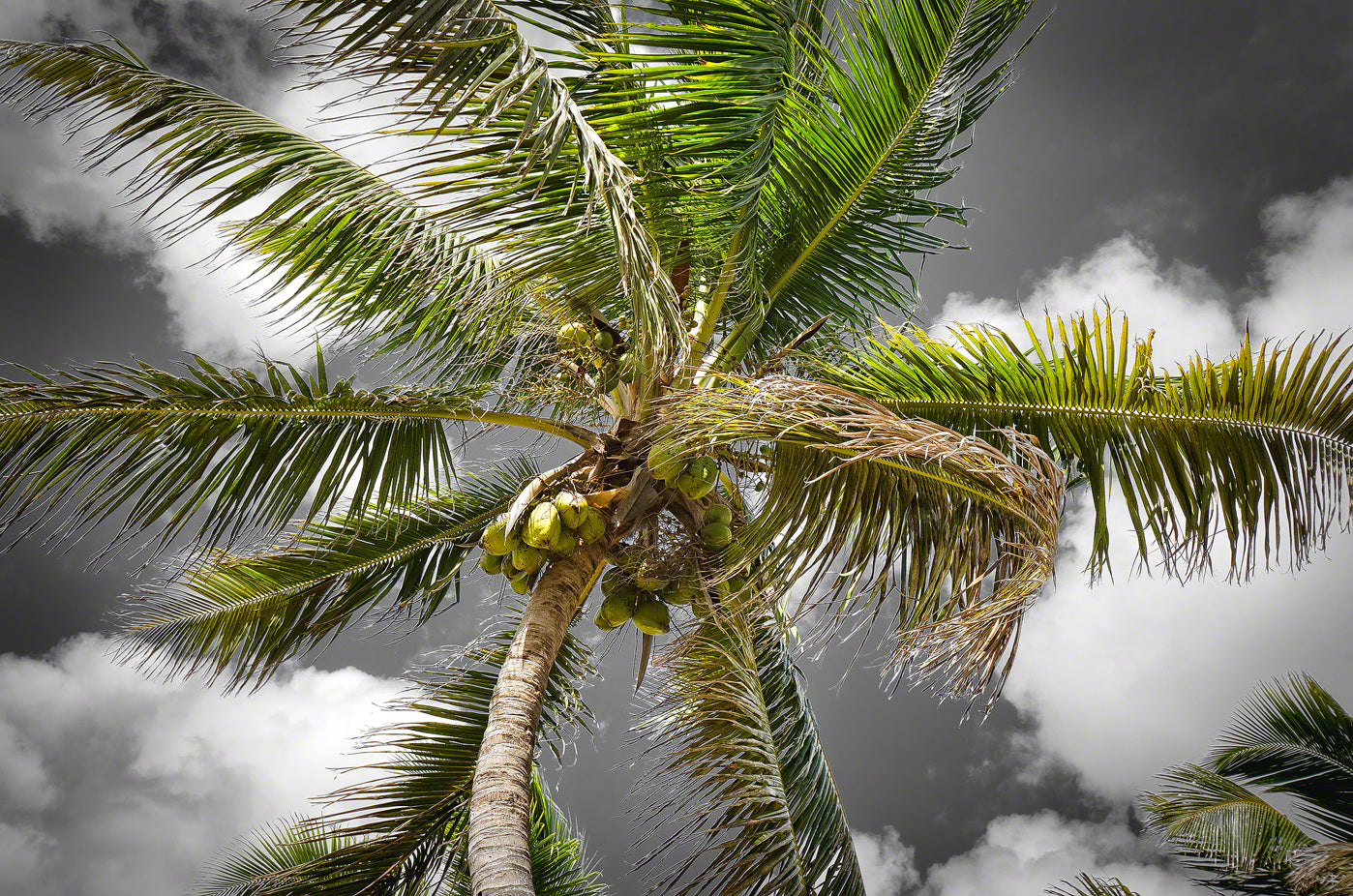 A photo of a coconut tree in the Florida Keys