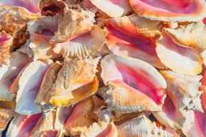 A photo of a pile of Conch Shells
