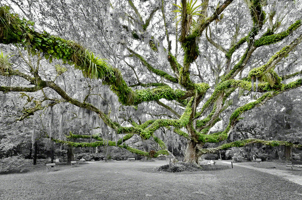 A black and white color photo of the Confederate Oak Tree