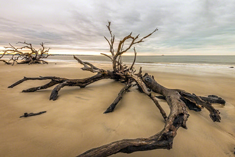 A photo of a large piece of driftwood on the beach in Jekyll Island