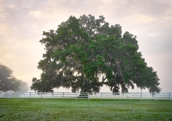 A photo of a large live oak tree at sunrise