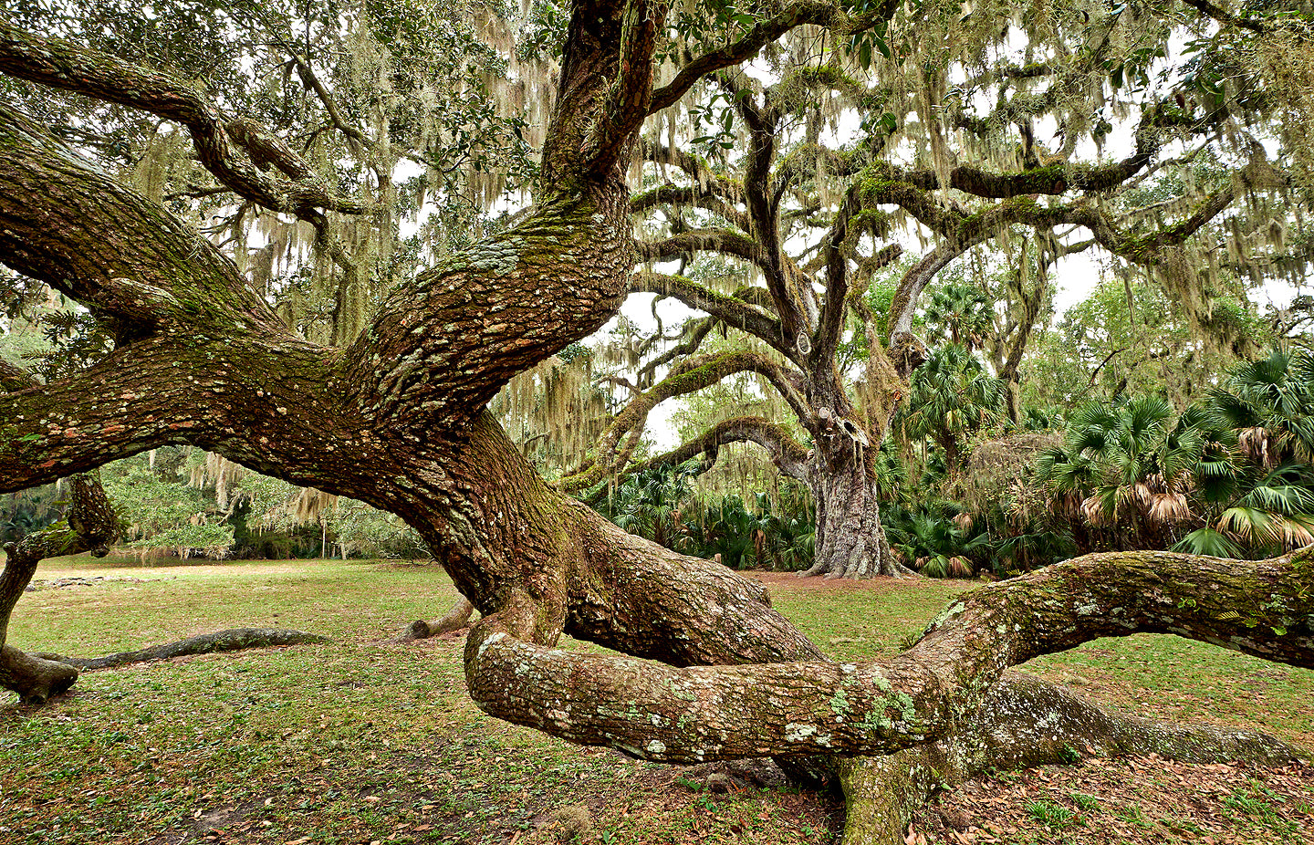 A photo of the fairchild oak tree