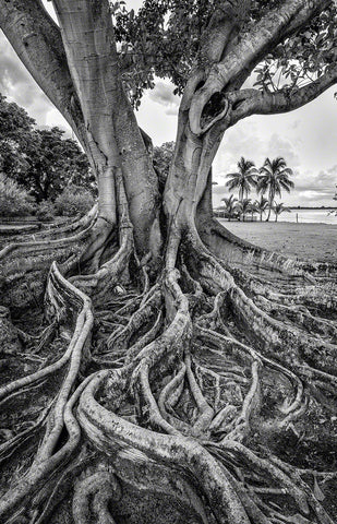 A black and white photo of a Brown Wooley fig tree