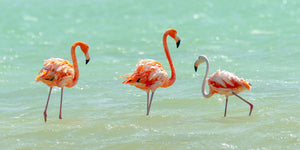A photo of a group of flamingos in the salt pans of Bonaire.