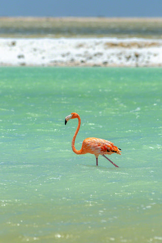 A photo of a beautiful Flamingo along the rugged coast of Bonaire