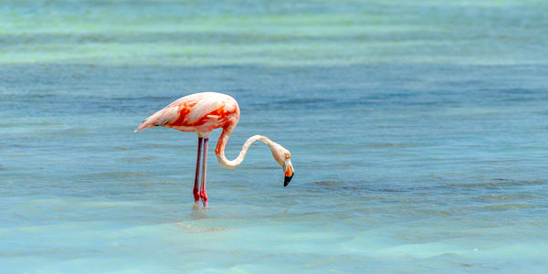 A photo of a flamingo in the salt pans of Bonaire
