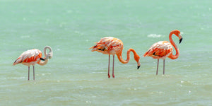 A photo of a group of flamingos in the salt pans of Bonaire