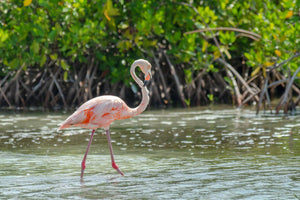 A photo of a beautiful Flamingo along the mangroves in Bonaire