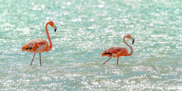 A photo of a pair of flamingos in the salt pans of Bonaire