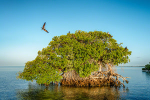 A photo of a group of Frigate Birds nesting on a mangrove island in the Florida Keys