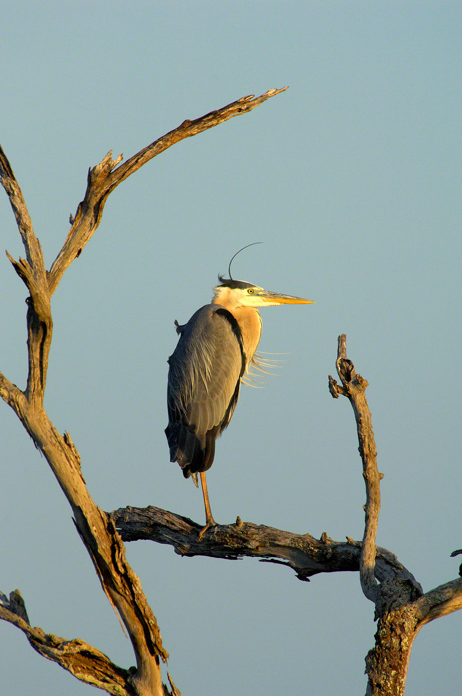 A photo of a great blue heron on a dead tree at sunset