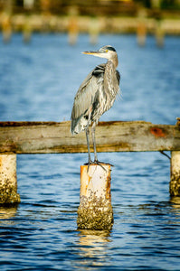 A photo of a great blue heron on a piling