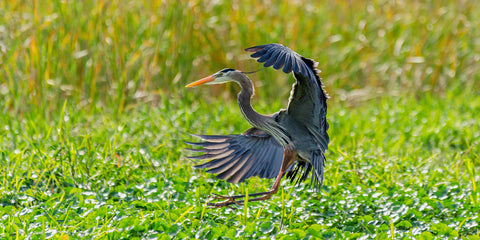 A photograph of a Great Blue Heron coming in for a landing
