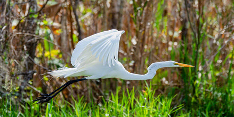 A photograph of a Great Egret flying
