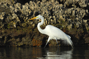 a photo of a great egret walking by a oyster filled seawall