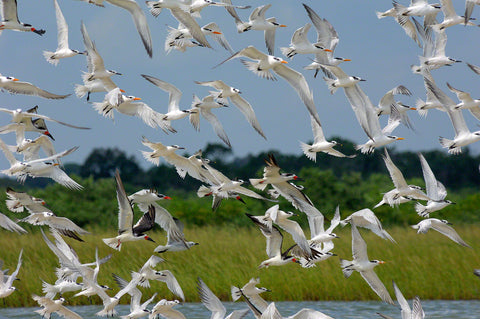 A photo of a large flock of terns and black skimmers