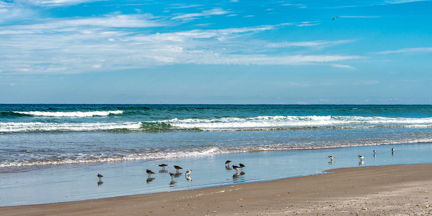 A photo of a group of Sand Pipers feeding in the surf on New Smyrna Beach, Florida