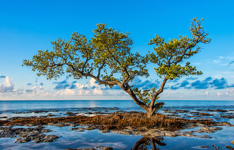 A photo of a lone Black Mangrove Tree on the edge of the ocean in Spanish Harbor, Key