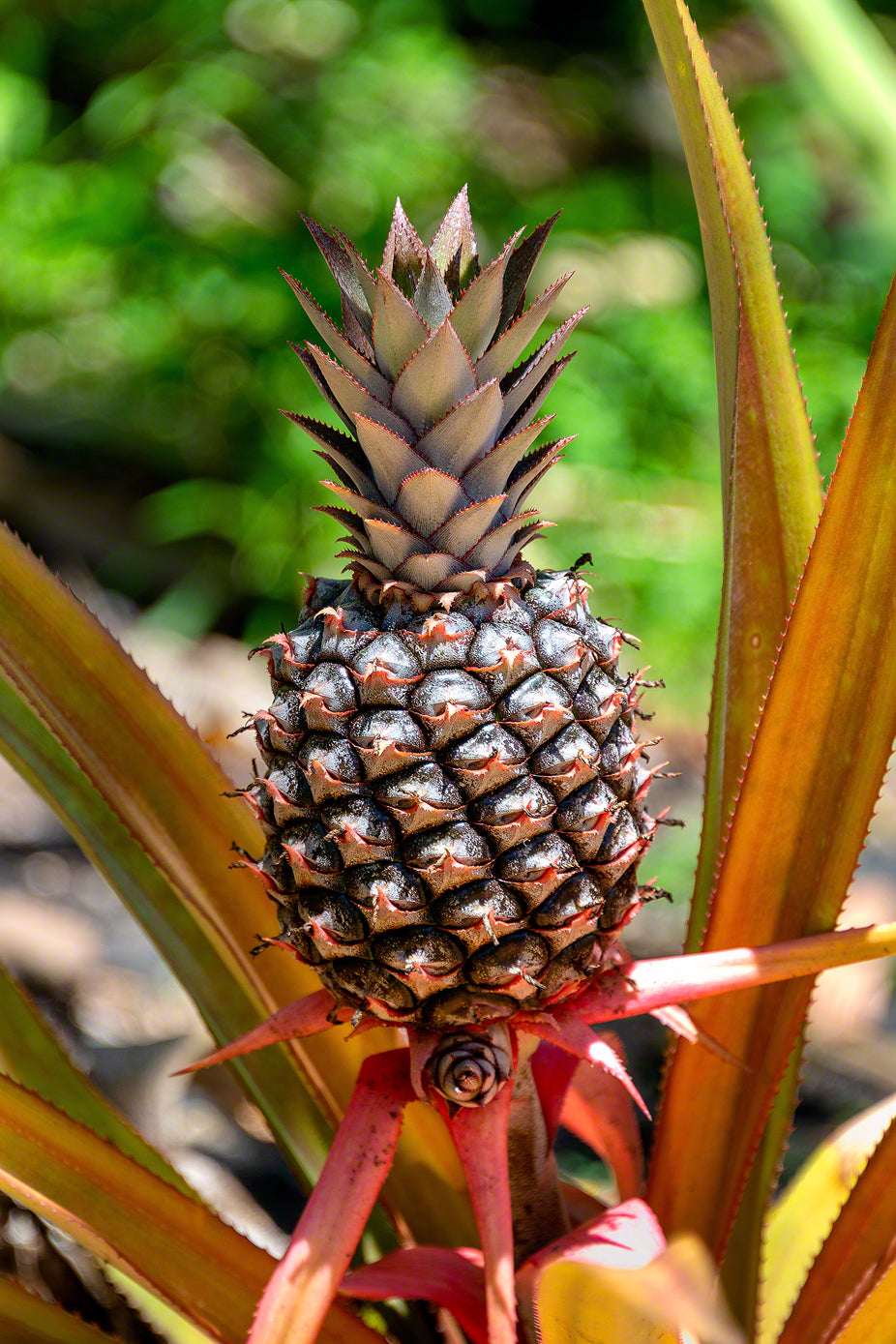 A photo of a wild Pineapple growing on the side of a lush tropical mountain in St. Lucia