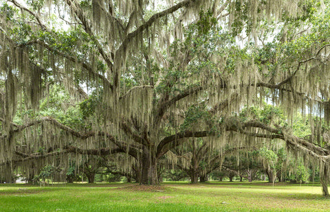 A photo of a live oak tree covered in spanish moss