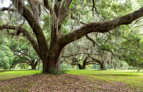 A photo of a large live oak tree