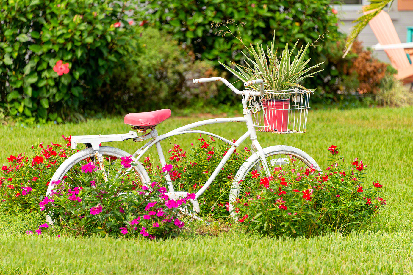 A photo by Mike Ring of a rusty old beach cruiser with pink flowers