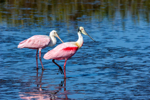 A photo of a pair of roseate spoonbills