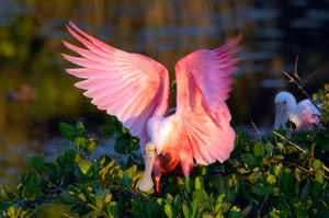 A photo of a roseate spoonbill flapping it's wings