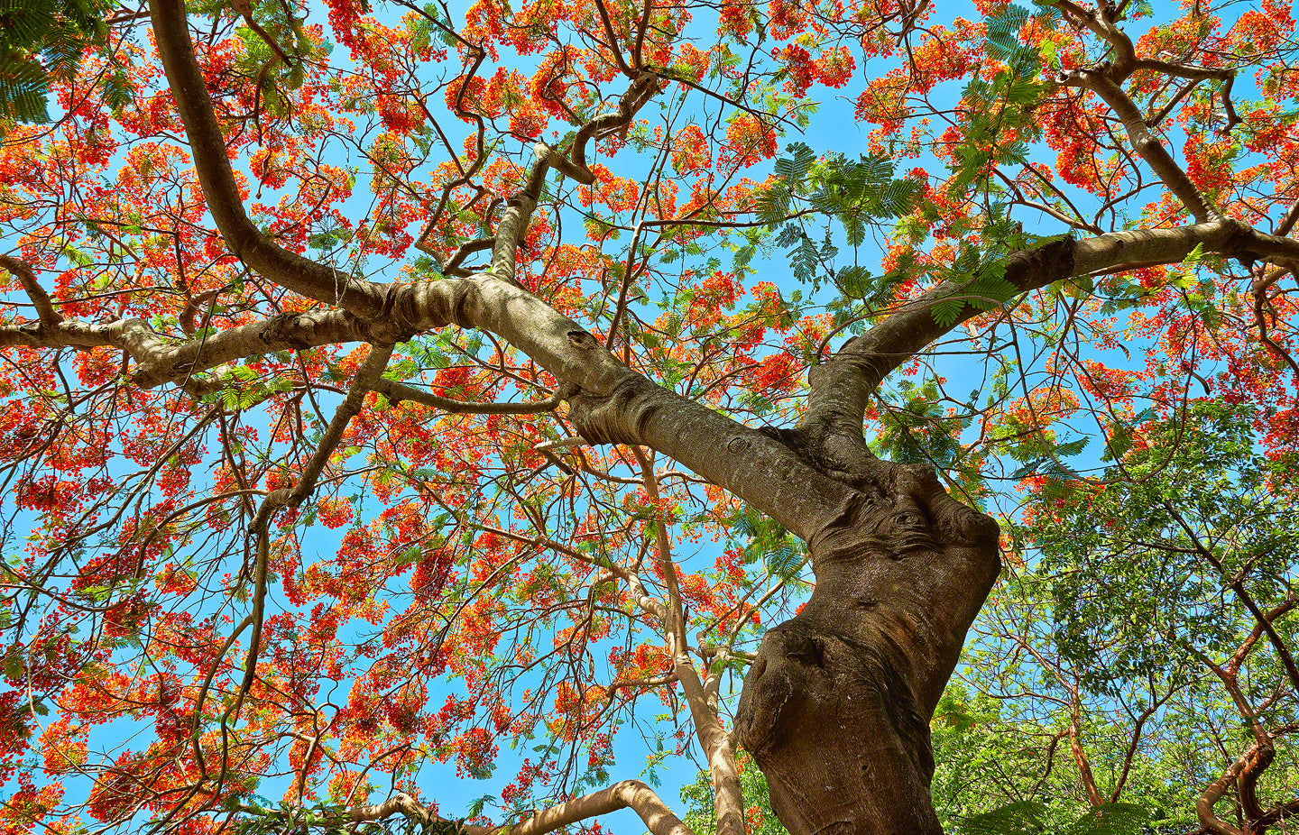 A photo of a Royal Poinciana Tree in full bloom