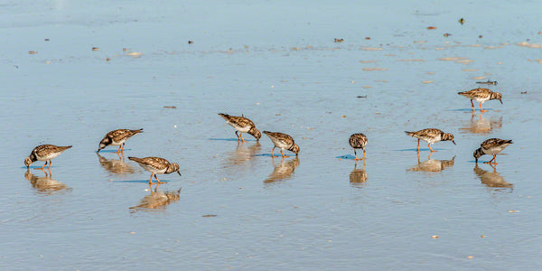 A photo of a large group of feeding ruddy turnstones
