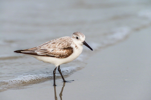 A photo of a sanderling sandpiper on the beach