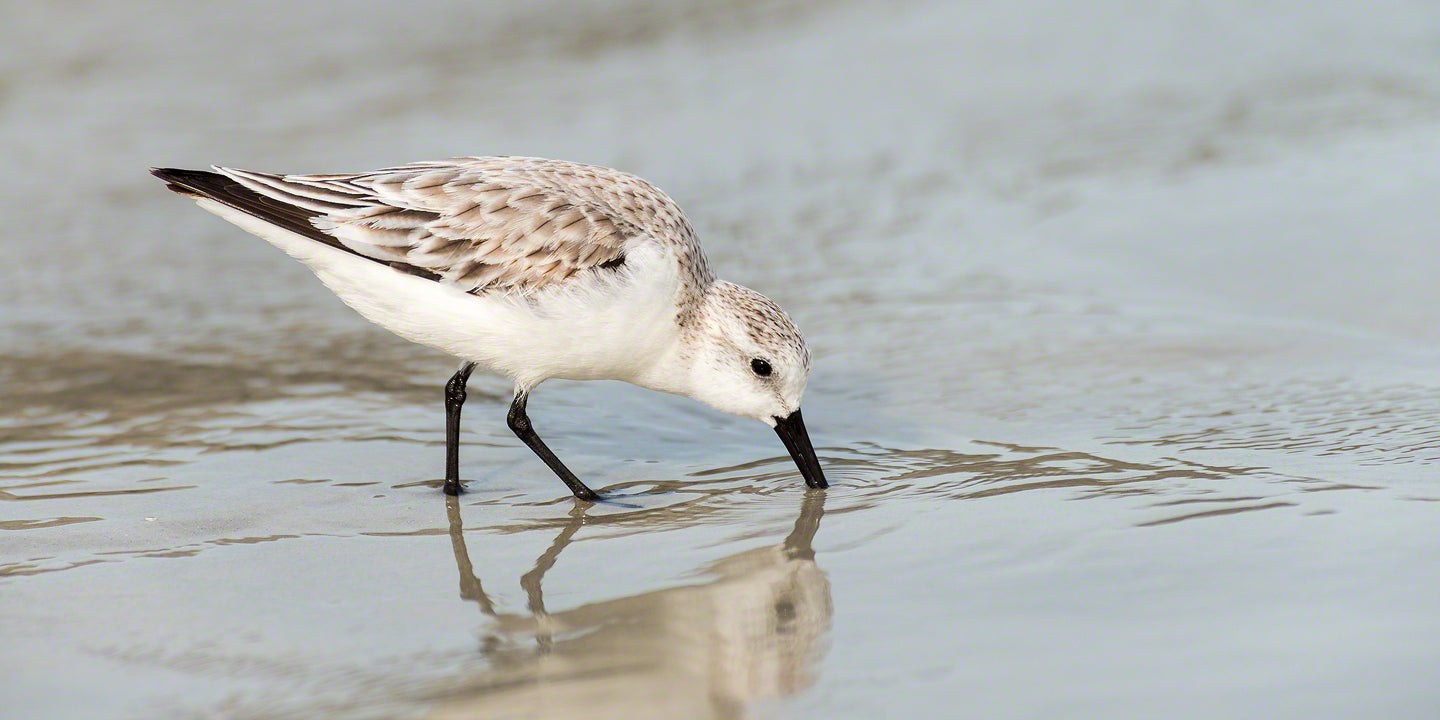 A photograph of a Sandpiper feeding on New Smyrna Beach