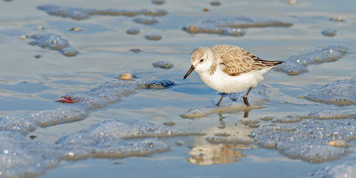 A photograph by Mike Ring of a Sanderling Sand Piper on the beach