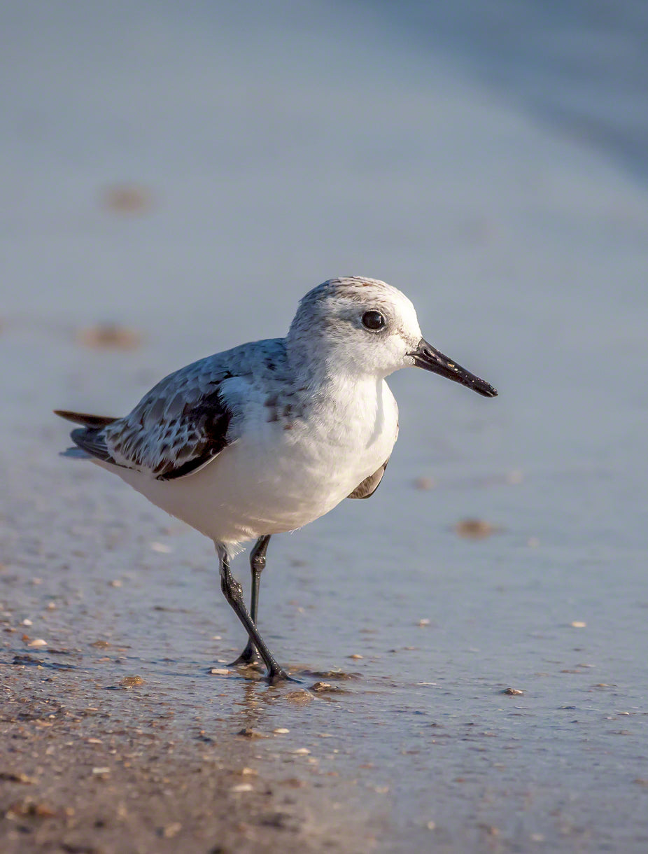A photo of a sandpiper on the beach