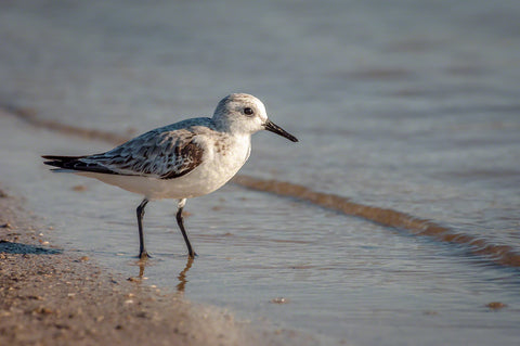 A photo of a sanderling on the beach