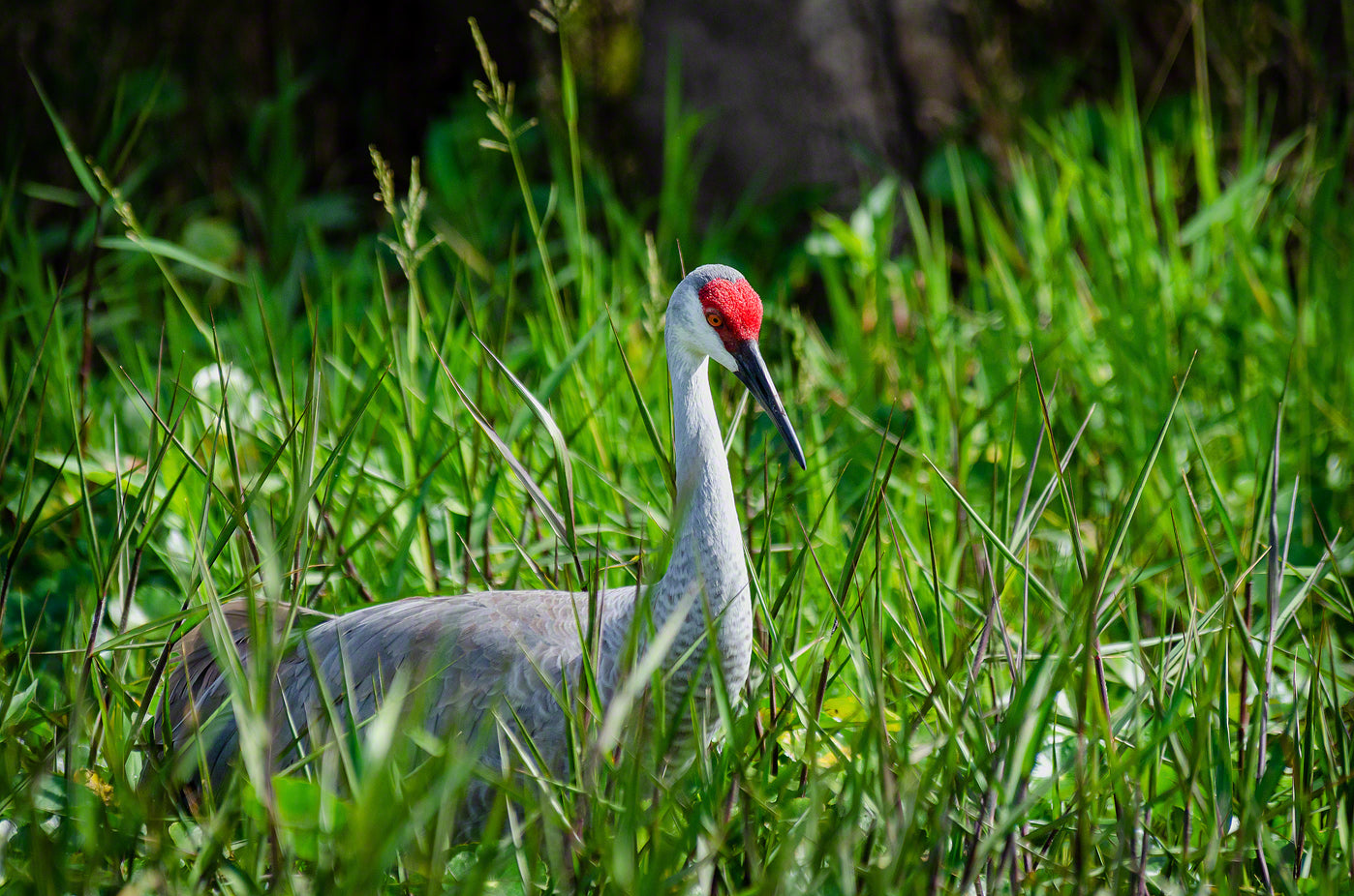 A photograph of a Sandhill Crane in the marsh
