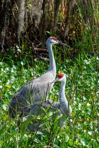 A photo of Sandhill Cranes in the marsh