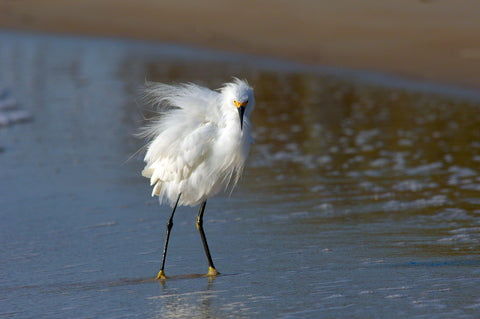 A photo of a snowy egret with fluffy feathers on the beach