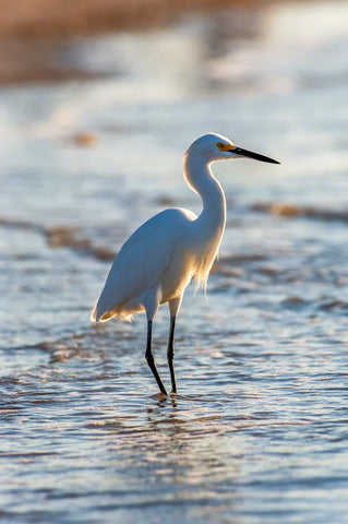 a photo of a snowy egret on the beach at sunset