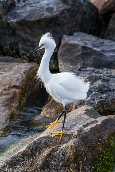 A snowy egret on jetty rocks